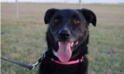 Breed: Black Labrador Retriever   Age: Adult   Sex: F   Size: L Pointe may have started out as an unsure, anxious dog but we rarely see any of that behavior now. Originally from Calgary Humane Society, we were asked to take her on due to kennel stress,