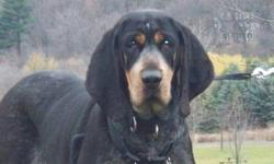 Breed: Bluetick Coonhound Coonhound   Age: Adult   Sex: F   Size: L Please contact Jean (houndrescue@yahoo.ca) for more information about this pet.     Meet Bluebelle!   Bluebelle is a gorgeous Bluetick / Blue Gascon hound. She's perfectly sweet with