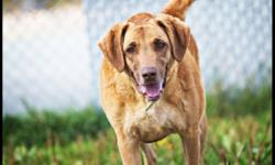 Breed: Chesapeake Bay Retriever Labrador Retriever   Age: Adult   Sex: F   Size: L Star is a lovely girl who will fit in nicely to a family with children 8 yrs and older. She is good with some dogs but would prefer to have her people all to herself. She