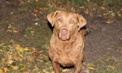 "Breed: Chesapeake Bay Retriever   Age: Adult   Sex: F   Size: L ""SHELLEY"" was found as a stray by a couple of hunters. Very sweet girl, does well with other non dominant dogs, cats good. Vet estimates her age to be between 3-5 yrs old.   View this pet on"