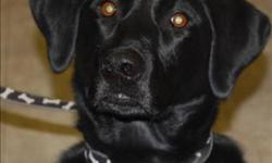 Breed: Labrador Retriever   Age: Adult   Sex: F   Size: M I'M AN EAGER BEAVER - I am a playful and curious dog who is looking for an owner I can trust. I am the kind of dog that needs a long walk every day and will still have energy to fetch the ball and