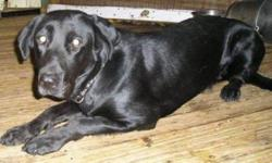 Breed: Labrador Retriever   Age: Adult   Sex: F   Size: L Nibi (signifie eau) est très bonne avec les humains même si elle a été légèrement maltraitée. Elle est à la recherche d'une famille qui possède de l'expérience avec les chiens car elle a