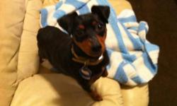 Breed: Miniature Pinscher   Age: Adult   Sex: F   Size: S Minnie the min pin is from a kill shelter in Los Angeles. She is about 15 lbs, with a docked tail. When we first took Minnie into rescue we were told she was pregnant - but upon vet check she was