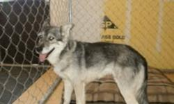 Breed: Husky   Age: Adult   Sex: F   Size: M Please call GTHS at (705) 445-5204. Nikita was surrendered due to allergies. She is a female husky X approximatly 8-9 years old. She is very friendly and loves attention. she is selective with other dogs and