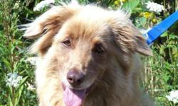Breed: Nova Scotia Duck-Tolling Retriever Collie   Age: Adult   Sex: F   Size: L This beautiful girl is Tia and she is about as pretty as it gets! She's very loving, friendly and just thrives with attention, she can't get enough of it. Tia has very