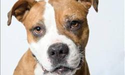 """Breed: Pit Bull Terrier Boxer   Age: Adult   Sex: F   Size: M Fawn is our """"maybelline eyeliner cover girl""""... she is an active 6-7yr old pitbull female, active, playful, affectionate, and adores people. She had her """"boyfriends"""" here but would be best"""