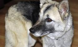 Breed: Shepherd Husky   Age: Adult   Sex: F   Size: M Approximate Date of Birth: November 1, 2006 When Pepper first came into our care she was very afraid of all people. She has become less timid but is still TERRIFIED of small children (under the age of