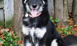 Breed: Shepherd Husky   Age: Adult   Sex: F   Size: L Shanna is a gorgeous girl who just arrived on Saturday night from Mercer County Pound in Ohio. She was an owner surrender there when he owner no longer wanted her and when the pound ran out of space,