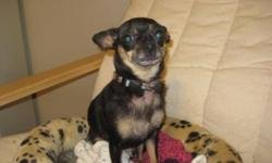 Breed: Chihuahua   Age: Adult   Sex: F   Size: S Tria is approximately 4 years old. She was picked up after being found roaming the streets of town and was never claimed. Ten days after she came to us, she gave birth to 2 puppies, both of which have been