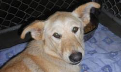 """Breed: Yellow Labrador Retriever   Age: Adult   Sex: F   Size: L As an SPCA dog for my $225 adoption fee I will be """"fixed, Micro-chipped, De-wormed and will have had my first set of vaccines.   View this pet on Petfinder.com Contact: Peace River SPCA 