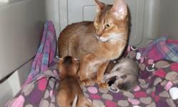 I have  a female ruddy Abyssinian available. She has had 2 litters. She needs to be Spayed.   She does not get along well with other cats.   1-289-969-2952   Delivery can be arranged