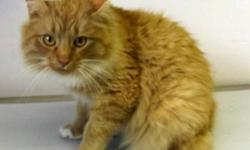 Breed: Domestic Long Hair - orange   Age: Adult   Sex: M   Size: L Berlin is a 2 1/2 year old domestic long haired male, neutered.   View this pet on Petfinder.com Contact: Lakeland Humane Society   Cold Lake, AB
