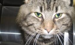Breed: Domestic Long Hair-gray   Age: Adult   Sex: M   Size: L This gorgeous guy is just looking for love. His enjoys any attention he can get. He has long beautiful hair in a marbling tabby pattern. Come and meet him today, he will be happy you stopped