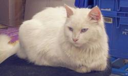 Breed: Domestic Long Hair   Age: Adult   Sex: M   Size: M Stomp is a very handsome, amiable young man. He is just over one year old. He is a large kitty with a sturdy skeletal frame, but he is NOT fat. He has medium length, white fur and blue eyes. This