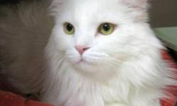 Breed: Domestic Long Hair   Age: Adult   Sex: M   Size: L   View this pet on Petfinder.com Contact: Richmond Animal Protection Society / City of Richmond Animal Shelter   Richmond, BC