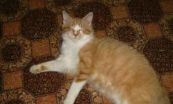 Breed: Domestic Medium Hair - orange and white   Age: Adult   Sex: M   Size: M Davy is approximately one year old. He was found wandering the streets all by himself. He has one bad eye, a short tail, and was suffering from an upper respiratory infection