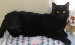 Breed: Domestic Short Hair-black and white   Age: Adult   Sex: M   Size: L DOB Dec. 9 2007 A handsome gentle boy, with a lovely personality. He is a real tuxedo cat with shining silky fur. He gets along well with other cats, and is very clean and quiet