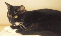 Breed: Domestic Short Hair-black and white   Age: Adult   Sex: M   Size: M SYLVESTER - HIS SHELTER GIVEN NAME, WAS FOUND ON AUGUST 29, 2011 AROUND THE 11 STREET SOUTH AREA IN LETHBRIDGE. SYLVESTER WAS BROUGHT TO THE LETHBRIDGE ANIMAL SHELTER. IF HIS