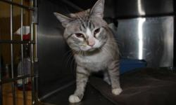 """Breed: Domestic Short Hair Siamese   Age: Adult   Sex: M   Size: M Apparently abandoned when a neighboring tenant moved away, this handsome Siamese X (with gorgeous """"ice"""" eyes!) was being cared for by another neighbor until his landlord said no more."""