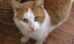 Breed: Domestic Short Hair - orange and white   Age: Adult   Sex: M   Size: S DOB. December 9,2009 This dear little fellow is the cutest thing! He is funny! He loves to get pats, gets along great with other cats and loves people. He loves his cozy warm