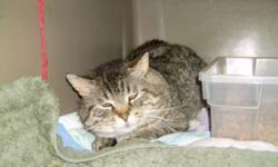 Breed: Domestic Short Hair Tabby - Brown   Age: Adult   Sex: M   Size: S George is approximately 5-6 years old and while he likely had a home at some point, he has been on his own for at least 3-4 years. He lived on the south side of town, wandering great
