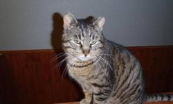 Breed: Domestic Short Hair Tabby - Brown   Age: Adult   Sex: M   Size: L Grady showed up at a house on the edge of town when it was -30 outside. He was desperate to get inside - so desperate that he actually tore the screen out of a door to gain access to