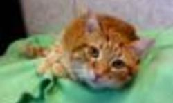 Breed: Domestic Short Hair-orange   Age: Adult   Sex: M   Size: M Poor Jinx was surrendered to the shelter along with his sister Zoe as their owner passed away and no one in the family could keep them. Zoe has been adopted and Jinx is waiting for his new