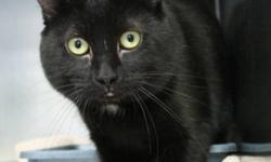 Breed: Domestic Short Hair   Age: Adult   Sex: M   Size: M Charming Todd transferred from another Provincial shelter and is settling into his new surroundings. He has a brilliant shiny ebony coat and shamrock green eyes. There is little known about his