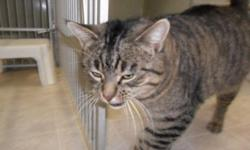 Breed: Tabby   Age: Adult   Sex: M   Size: L My name is Felix, I am a large Tabby boy neutered with my vaccinations. My name is Felix, I am a pretty neat and tidy guy, I like my meals on time with some TLC thrown in for good measure.When I receive good