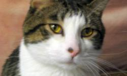 Breed: Tabby   Age: Adult   Sex: M   Size: M DSH tabby and white male neutered; DOB: August 2008 This handsome boy was dumped at an overcrowded shelter and left to die. We can't imagine why, because he's genuinely a sweet, loving soul that wants nothing