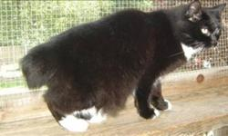 Breed: Manx Domestic Short Hair   Age: Adult   Sex: M   Size: M Primary Color: Black Secondary Color: White Age: 3yrs 10mths 3wks Animal has been Neutered   View this pet on Petfinder.com Contact: BC SPCA Cowichan & District Branch | Duncan, BC