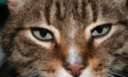 Breed: Tabby   Age: Adult   Sex: M   Size: M Myles was given his annual vaccines and deworming on March 12, 2010. He weighs 8 lbs. Though these cats free roam with each other within an insulated shelter with heat and electricity - they would love to live