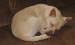 Breed: Chihuahua Terrier   Age: Adult   Sex: M   Size: S Wilbur is another chihuahua mix, about 2 years old. He is an adorable boy. He was saved from a pound in California and has spend the last few months in a rescue in Washington, he was brought to