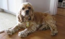 Breed: Cocker Spaniel   Age: Adult   Sex: M   Size: M Oliver was rescued from up north by Animal Advocates. He was then neutered. This 20-lb. Cocker is 2 yrs. old. He arrived with cherry eye in his left eye, which was then handled by the great vet at West