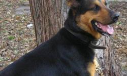 Breed: German Shepherd Dog Labrador Retriever   Age: Adult   Sex: M   Size: L James est un joli garçon qui vient de deux endroits. Dans son premier foyer, il n'était pas bien du tout, car il n'y avait pas d'enfants. Les voisins avaient 2 enfants,