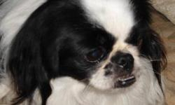 Breed: Japanese Chin   Age: Adult   Sex: M   Size: S Miko is an adorable Japanese Chin born in October 2006 who was sadly surrendered to Kiko due to changes in his caregiver's life. He is a quiet little fellow and would be suitable for someone living in