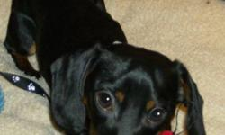 Breed: Dachshund   Age: Adult   Sex: M   Size: S Please Note: Tiny Paws Dog Rescue will take a short break from adoptions for the period of December 19, 2011 to January 2, 2012. We feel that with the hustle and bustle and busy social activities of the