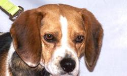 Breed: Beagle   Age: Adult   Sex: M   Size: M Please meet Presley, an adorable little Beagle who is looking for a second chance on a forever home. He is just as cute as can be and although a little timid at first, he warms up quickly once he learns he can