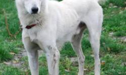 Breed: Saluki Husky   Age: Adult   Sex: M   Size: L ***COMPLIMENTARY POSTINGS are provided to independent rescuers who are looking to rehome an animal.The animal is not in the care of the NWAS and therefore any representations are strictly those of the