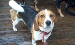 Breed: Beagle   Age: Adult   Sex: M   Size: M Bonjour, je suis Sammy. J'ai été abandonné dans une fourrière et la fourrière m'a fait adopter avec pleins de mensonges. Les gens cherchaient un chien tranquille, mais ce n'est pas moi du tout! Je suis