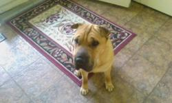 Breed: Shar Pei   Age: Adult   Sex: M   Size: M Update:   Moses is ready for his new home! He has had his entropian surgery and is doing better every day and seeing life in a whole new way! Let us put you in touch with his foster mom or find us on