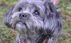 Breed: Shih Tzu Poodle   Age: Adult   Sex: M   Size: S Gumball is looking all cute now that he's had a professional haircut! This little guy came in quite matted all over, so we're sure he's happy to be with us at the shelter. He is a very quiet natured