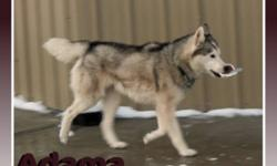 Breed: Siberian Husky   Age: Adult   Sex: M   Size: L Adama is happy to be coming to Island Dogz from a shelter in Alberta. He apparently came originally from a home that did little with him and kept him outside :(. This breed thrives on close