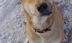 Breed: Yellow Labrador Retriever Terrier   Age: Adult   Sex: M   Size: M Big Mick is a funny looking soul with his wonky tooth and formerly broken jaw. One of the 6 dogs a year we take from Bangkok, Thailand, Mickey's life on the street consisted of