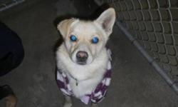 """Breed: Yellow Labrador Retriever Terrier   Age: Adult   Sex: M   Size: S As an SPCA dog for my $225 adoption fee I will be """"fixed, Micro-chipped, De-wormed and will have had my first set of vaccines.   View this pet on Petfinder.com Contact: Peace River"""