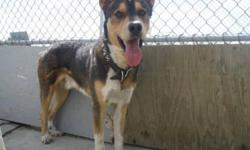 Breed: Australian Cattle Dog (Blue Heeler) German Shepherd Dog   Age: Adult   Sex: M   Size: L Hi! I'm Rambo. I am a 1 year and 1 month old Australian Shepherd/ H-57 who came into the shelter on August 11 2011. I have had my 1st and 2nd vaccinations