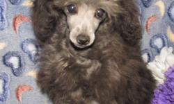 One silver male and one silver female tiny poodles both AKC Registered with 25 champions in pedigree. Can be CKC Registered. Male Silver Tiny Toy Poodle.  Will grow to around 6 lbs $1000 last 3 pictures. Female Silver Tiny Teacup Poodle.  Will grow to