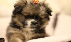 3 Incredible hybrid puppies! These beautiful Crested Pekes are a 50/50 cross between a powder puff Chinese Crested (has fluffy coat not hairless) and a Pekingnese, both being hypoallergenic non-low shedding breeds.   2 Males, 1 Female, ready to go!