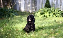 Bébé is a nine year old American Cocker Spaniel that was purchased in Japan when she was just a puppy.  She came to Canada three years ago but longs perhaps for a change in routine and surroundings.  She has always been good around children and cats but