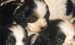 Sweet little cocker puppies.  Will have shots and deworming.  Parents are AKC registered.
